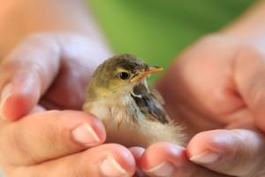 Sparrow on human hands